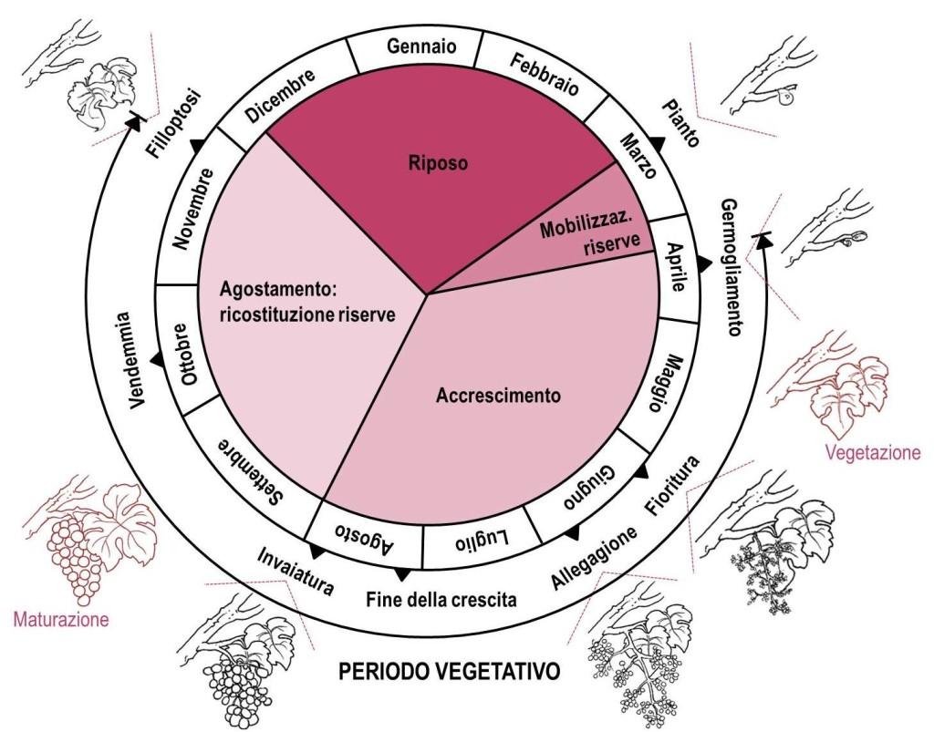 Ciclo vegetativo riproduttivo COMPLETO
